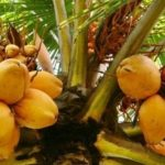 king coconut-tour-srilanka-eco-treat – Copy