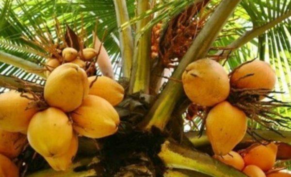 king coconut-tour-srilanka-eco-treat – Copy