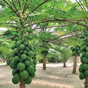 papaya-tour-srilanka-eco-treat – Copy